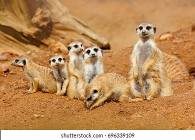 Funny image from African nature. Cute Meerkats, Suricata suricatta, sitting in the sand desert. Meerkat from Namibia, Africa. Big family of small cute mammals.