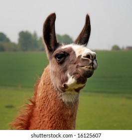 Funny image of a Llama with pricked up Ears and sticking out teeth