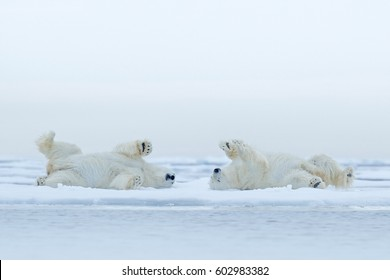 Funny image from nature. Two Polar bears lying relaxed on drifting ice with snow, white animals in the nature habitat, Canada. Two animals playing in snow, Arctic wildlife.