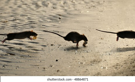 Funny image of three positions of running rat