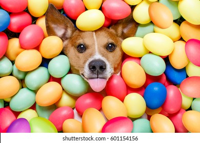 funny jack russell easter bunny  dog with eggs around on grass as background, sticking out tongue