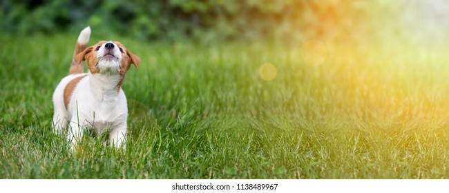 Funny Jack Russell terrier dog puppy howling in the grass - web banner idea