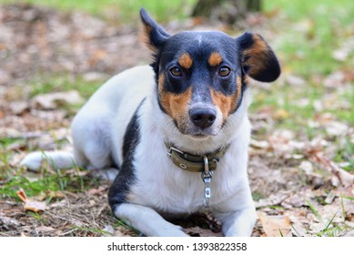 Funny Jack russell terrier lies on grass covered with dried leaves in a park in autumn