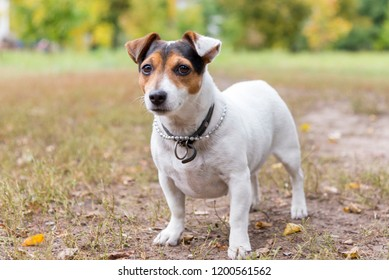 Funny Jack russell terrier stands on grass in a park in autumn