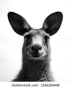 Funny kangaroo, Black and white photo of a kangaroo, Australia