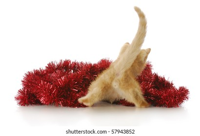 funny kitten from the backside playing in red christmas garland with reflection on white background