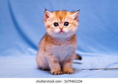 Funny kitten British breed Golden color sits and stares at the camera