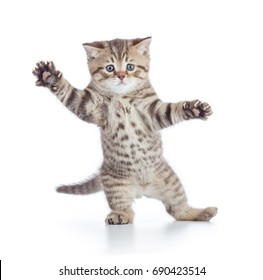 Funny kitten cat standing or dancing isolated
