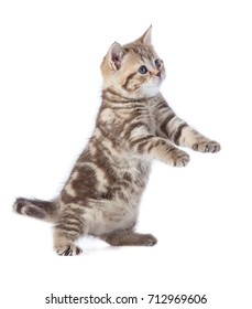 Funny kitten cat standing isolated with paws up