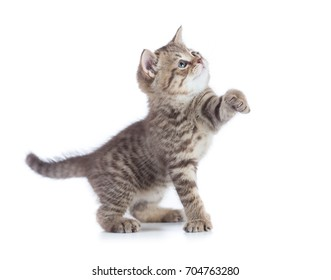 Funny kitten cat standing with raised paw looking up isolated on white