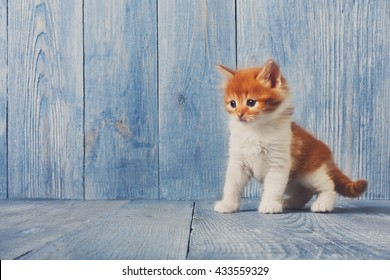 Funny kitten. Ginger kitten with white chest. Long haired red orange kitten. Sweet adorable kitten on a serenity blue wood background. Small cat. Funny kitten with copyspace