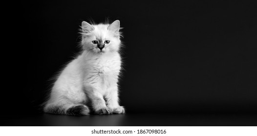 Funny Kitten on a black background, black and white portret. Small fluffy kitten of the Neva masquerade cat, subspecies of the Siberian cat - Shutterstock ID 1867098016