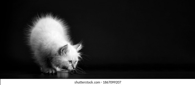 Funny Kitten on a black background, black and white portret. Small fluffy kitten of the Neva masquerade cat, subspecies of the Siberian cat - Shutterstock ID 1867099207