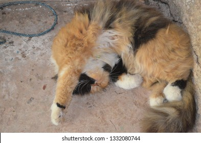 Funny kitty with black-white-and-brown coated fur, half black-and-brown face,  sleeping on the floor while putting one front leg over head at a corner, lovely persian cat taking a nap on holidays