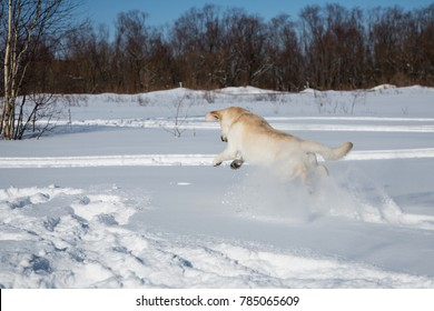 Funny Labrador Dog Playing And Running Outdoor In Snow, Winter Season. Playful Pet Outdoors.