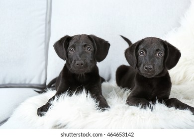 Funny Labrador puppies on couch