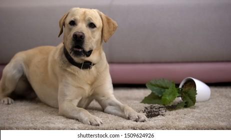 Funny labrador retriever dog lying near broken potted plant, pet misbehavior