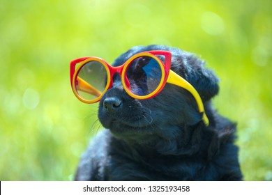 Funny labrador retriever puppy gazes through  the sunglasses. Dog playing outdoors in the grass in summer