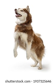 Funny large Alaskan Malamute brown and white dog standing up on hind legs dancing and begging with open mouth and happy expression