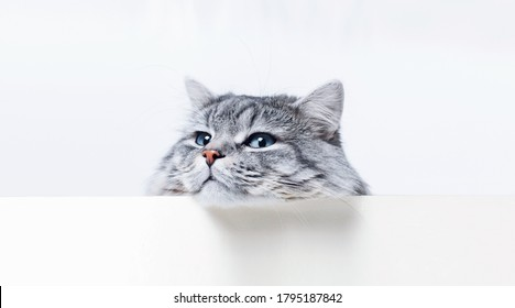 Funny large longhair gray tabby cute kitten with beautiful big blue eyes lying on white table. Pets and lifestyle concept. Lovely fluffy cat. Free space for text.