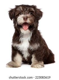Funny laughing chocolate colored havanese puppy dog is sitting, isolated on white background