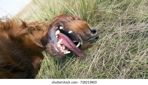 Funny laughing dog lying in the grass