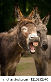 Funny laughing donkey