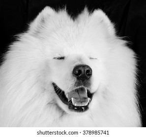 Funny laughing Samoyed dog (in black and white, vintage style)
