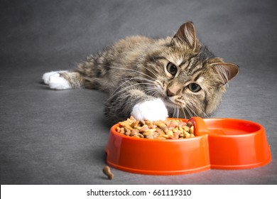 funny lazy cat pulls his paw to a bowl full of dry food on a gray background