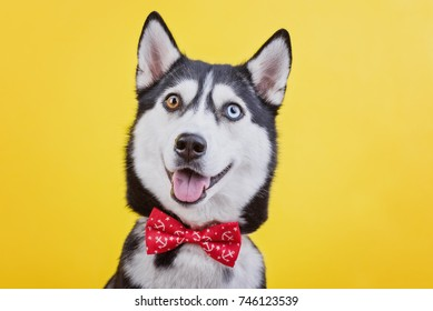 Funny lazy-eyed husky dog with a stupid expression of muzzle smiling in a fashionable red butterfly, yellow studio background, concept of dog emotions