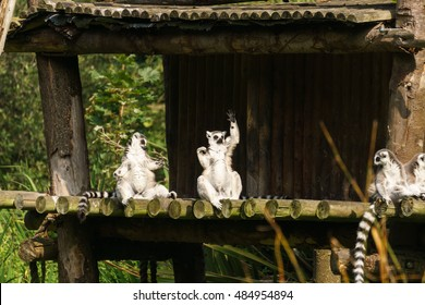 Funny lemurs in pose