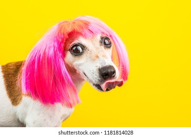 funny licking showing tongue. ape bully dog Jack Russell terrier pet in pink fashion wig. Yellow background. Adorable lovely face