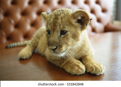 Funny lion calf looks around and lies on table near sofa in cafe