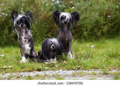 A funny littel Group of Chinese Crested Hairless and Powderpuff Dogs