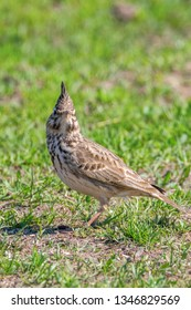 Funny little bird, Crested lark on ground (Galerida cristata) Wildlife Close up