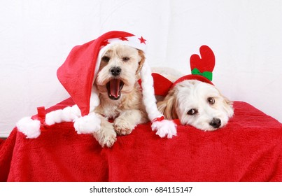funny little christmas dogs in the studio
