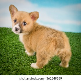 Funny little Corgi puppy with a cute little but looking back.