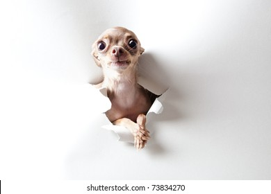 Funny little dog with big eyes on white
