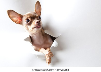Funny little dog on white