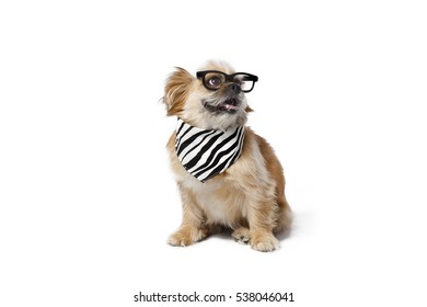 ef556c091f37 Funny little dog with sunglasses and bandana and isolated on white  background