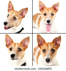 Funny little dog terrier portraits in collage