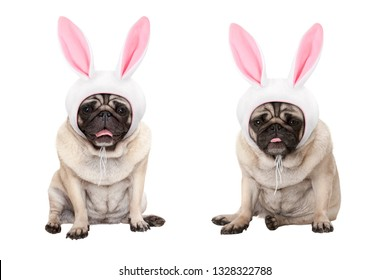 funny little easter pug puppy dogs, sitting down, wearing easter bunny cap with ears, isolated on white background
