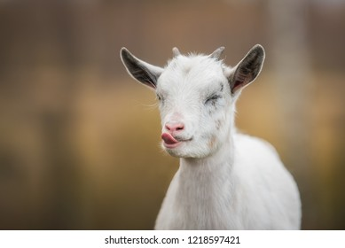 Funny little  goat showing a tongue