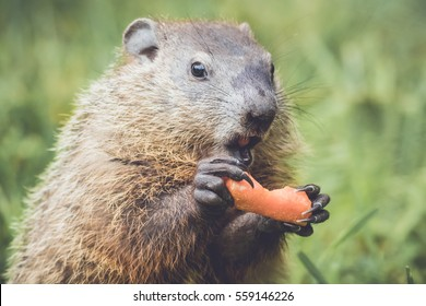 Funny little Groundhog (Marmota Monax) holding carrot with mouth open