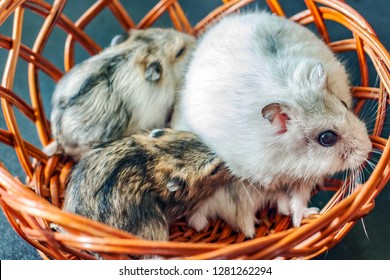 Funny little hamsters on a dark background. Jungar hamsters. Adult hamster with her cubs