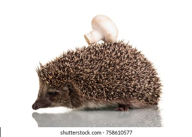 Funny little hedgehog with mushroom on the thorns, isolated on white background