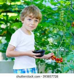Funny little kid boy of 5 picking fresh ripe tomatoes vegetables  in greenhouse. Preschool child helping on sunny summer day. Family, garden, gardening, lifestyle