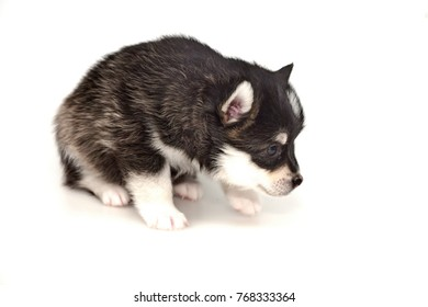 Funny Little One Month Designer Husky Black White Puppy or Small Pomsky Dog Isolated On White Background.