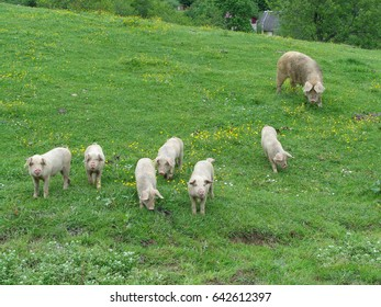 Funny little piglets and pig in green meadow amid wildflowers