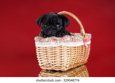 Funny little pug dog on a red background in a wicker basket